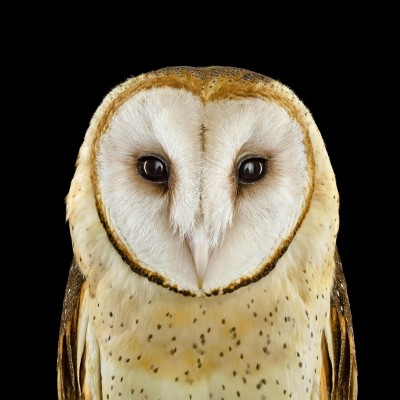 Barn Owl Size: Up to 15 inches tall; 1 pound  Range: The world's most cosmopolitan owl, nests on six continents but avoids the northernmost reaches of North America, Europe, and Asia The constellation of spots that spreads across the Barn Owl's head and décolletage are not just ornamental: The more spots a female has, the more resistant she seems to be to parasites, and the more attractive she is to males. A seemingly supernatural ability to pinpoint noises and spot prey in low-light and even blackout conditions, coupled with near-soundless flight, makes these owls the perfect night stalkers.