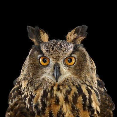 Eurasian Eagle-Owl Size: 23-29 inches tall; 3-9 pounds Range: Europe and Asia No bird is safe from the Eurasian Eagle-Owl—not even its kin. The mighty strigiform goes after Tawny and Snowy owls, as well as such larger birds as Gray Herons. On China's alpine meadows, the eagle-owl and the Upland Buzzard hunt the same voles and beady-eyed pikas. The buzzards conduct their business by day; the owls take over after dusk. With its 6.5-foot wingspan, it's also been known to hunt foxes and fawns.